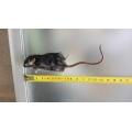 Alimento congelado - Ratos  Desmamados