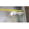 Alimento congelado - Ratos Jumbo  30-45 gr