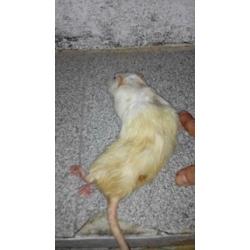 Alimento congelado roedor adulta xl