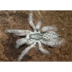 Tarantula Heteroscodra Maculatta