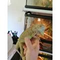 Kit  iniciante Iguana
