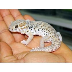 Gecko  TERATOSCINCUS ROBOROWSKII
