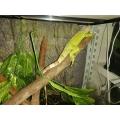 Iguana verde grande e mansa