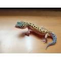 kit Gecko leopardo completo