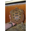 Tartaruga terrestre fêmea para criar