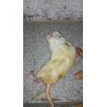 Alimento congelado ratazana adulta xl